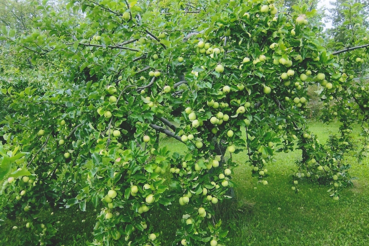 lodi-apple-tree