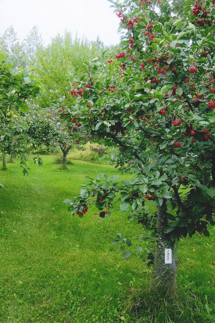 metor-cherry-tree
