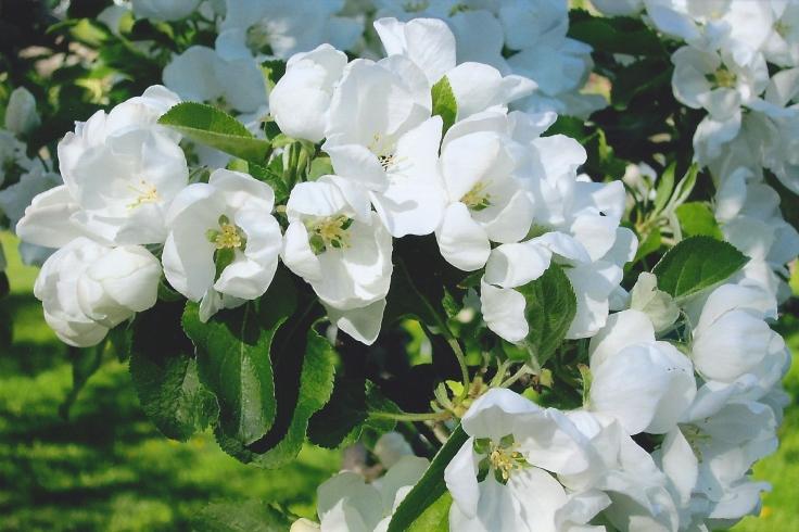norland-blossom